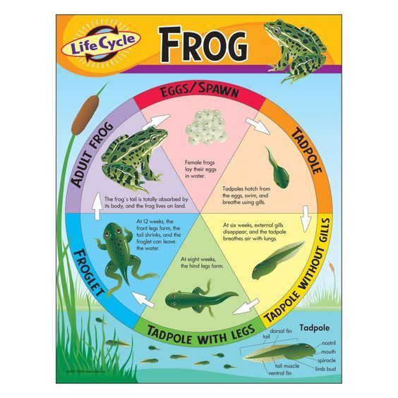Longhorn Chart - The Frog Life Cycle