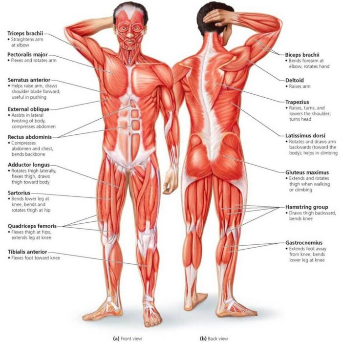 Longhorn Chart - The Muscles